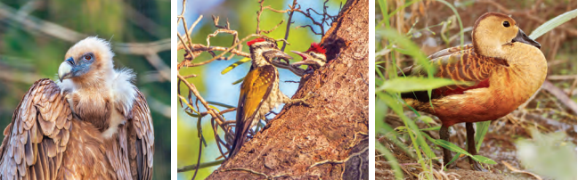 From Left to right: Eurasian griffon, Flameback woodpecker, Fulvous whistling duck