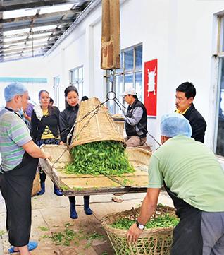 Pesando las hojas de té antes de procesarlas
