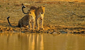 Wildlife safari at Yala