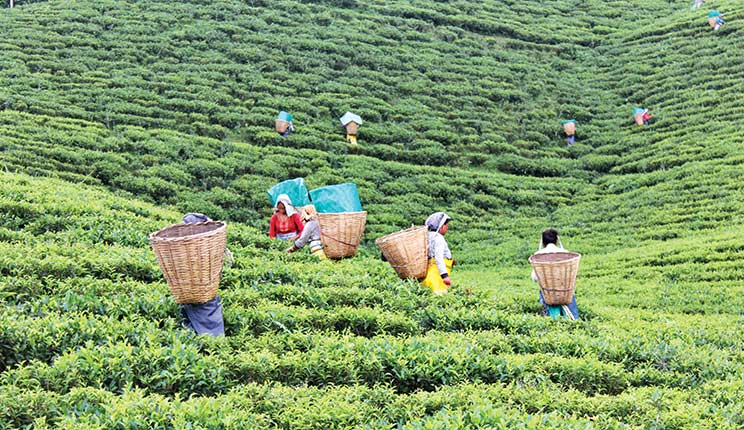 Mujeres arrancando hojas de té