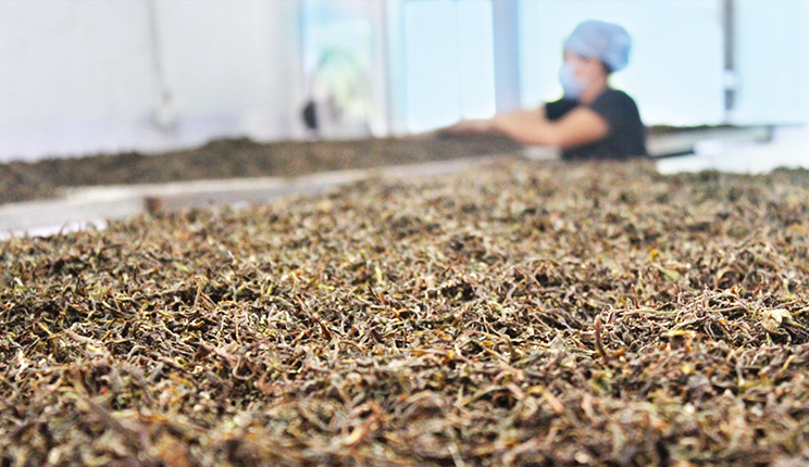 Mujer secando las hojas de té