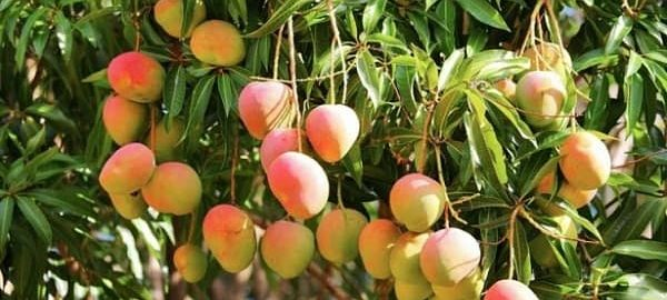 largest-mango-producing-state