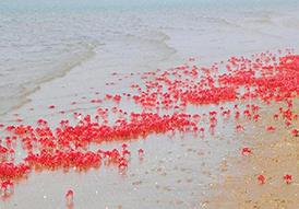 Les crabes rouges de la plage de Mandarmani