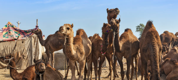 Camels at Pushkar Mela (Pushkar Camel Fair). Pushkar, Rajasthan, India