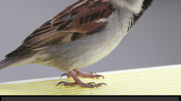 World Sparrow Day 2020