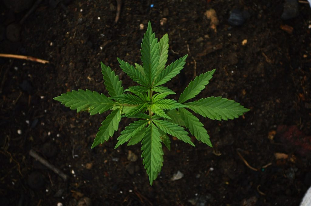 cannabis in india