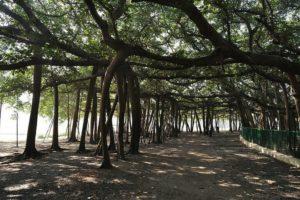 Great banyan tree howrah
