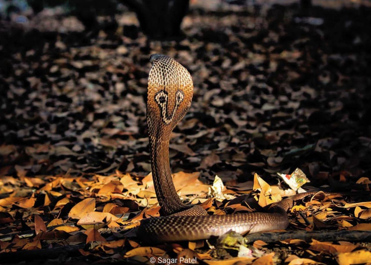 Nagpanchami: How different Indian states celebrate snake worship