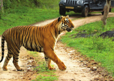 International Tiger Day: Human animal conflict could derail Indian success story